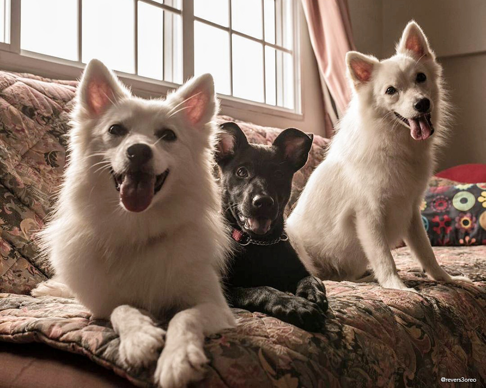 black stray mongrel dog and japanese spitz dogs