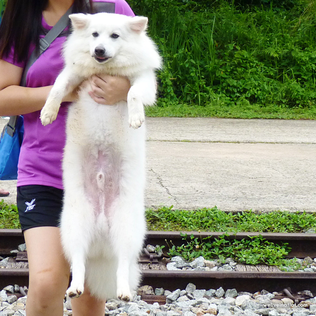 cookie the japanese spitz
