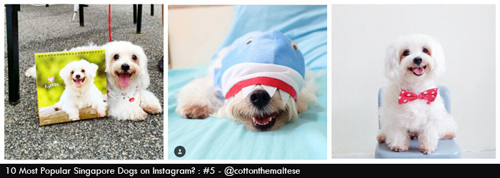 cotton the maltese dog @cottonthemaltese on Instagram