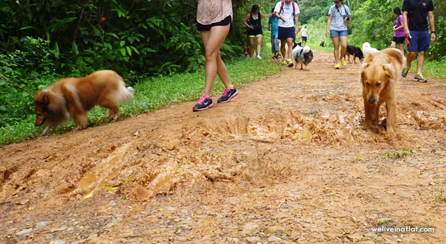 golden retriever and sheltie on mud track at Green Corridor