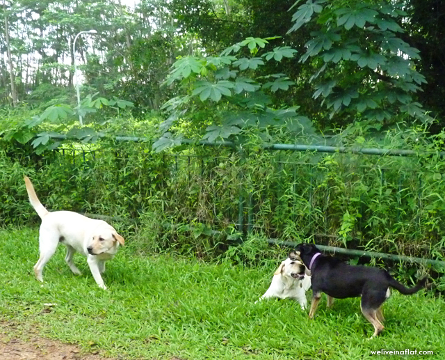 donna mongrel playing with labrador dogs at green corridor