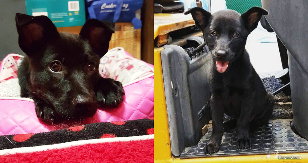 black stray dog Leyla was rescued when, as a puppy, she wandered into a factory building in Tuas.