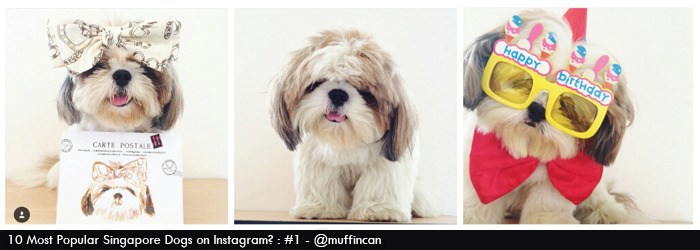 muffin the shihtzu @muffincan on Instagram