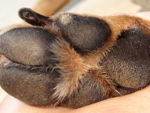 dry cracked cat paw pads multi