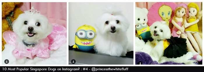 princess the maltese dog @princessthewhitefluff on Instagram
