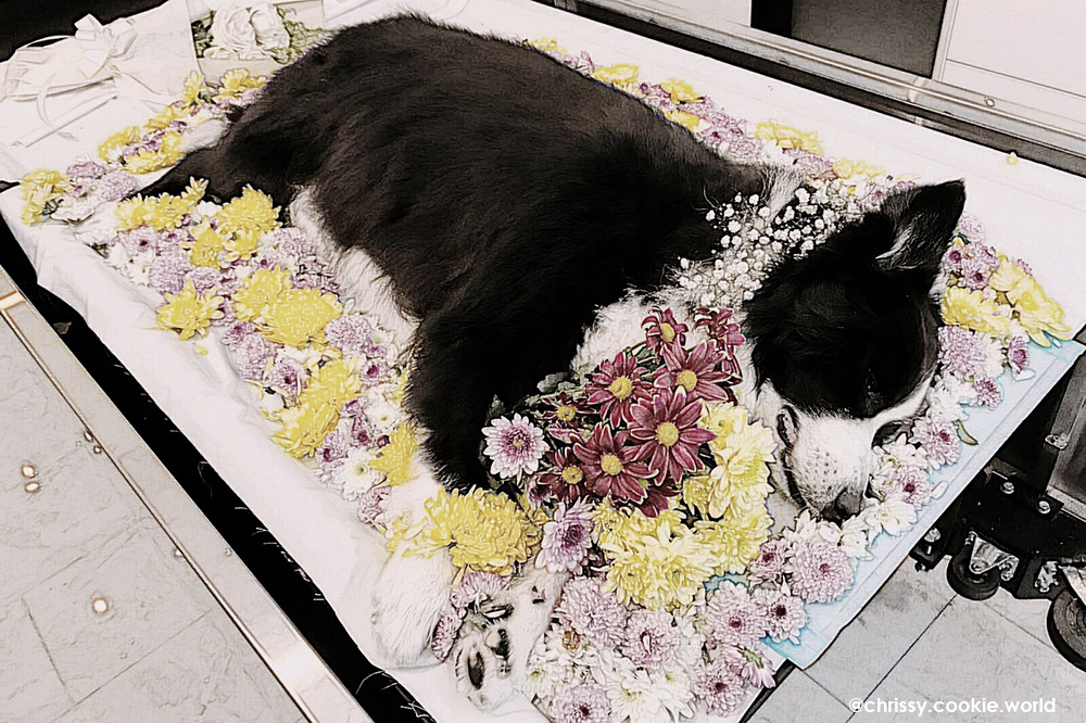 Goodbye Milo Border Collie - Attending a Pet Cremation in Singapore