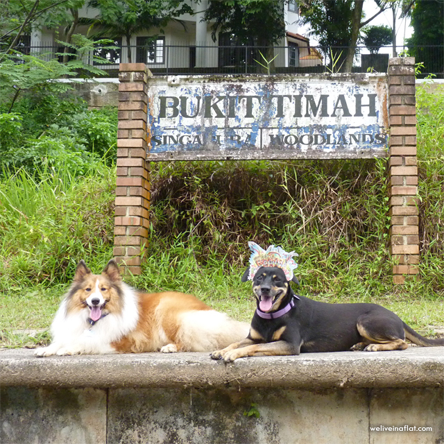 dogs at conserved bukit timah railway station
