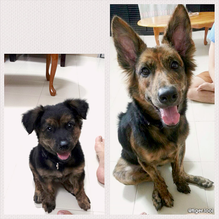 tiger looi singapore special mongrel dog before and after; brindle puppy sit